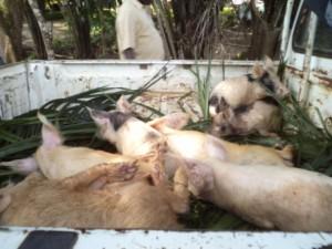 3c Porcs achetés pour élevage et vente