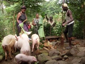 Glückliche Schweine